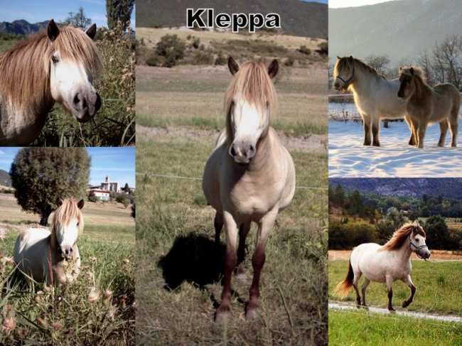 Islandais Klepp_coll